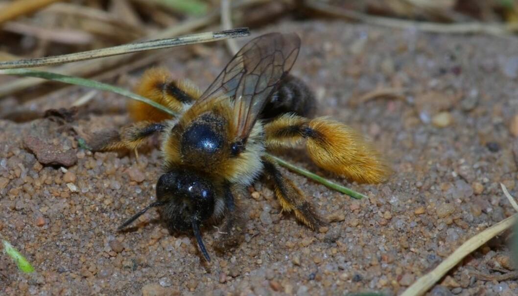 Buksebia (Dasypoda hirtipes) tilhører den eldste av de syv biefamiliene. Hunnen på bildet graver ut reiret sitt i sandholdig jord. (Foto: Markus Sydenham)