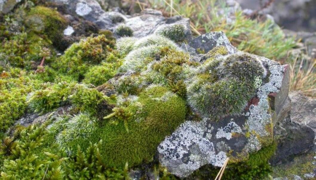 Kalkvrimose (<em>Tortella bambergerii</em>). (Foto: Kristian Hassel/NTNU Vitenskapsmuseet)