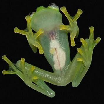 Kermit-frosken er nesten gjennomsiktig. Kanskje ikke så rart at den kalles en glassfrosk.  (Foto: Brian Kubicki)