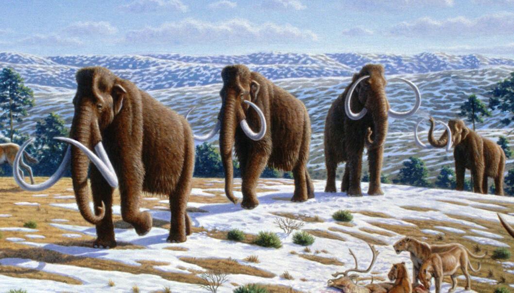 Det finnes mange teorier om hvorfor mammuten forsvant fra jordens overflate. Analyser av to mammutgenomer tyder på at årsaken var innavl.  (Illustrasjon: Wikimedia Commons)