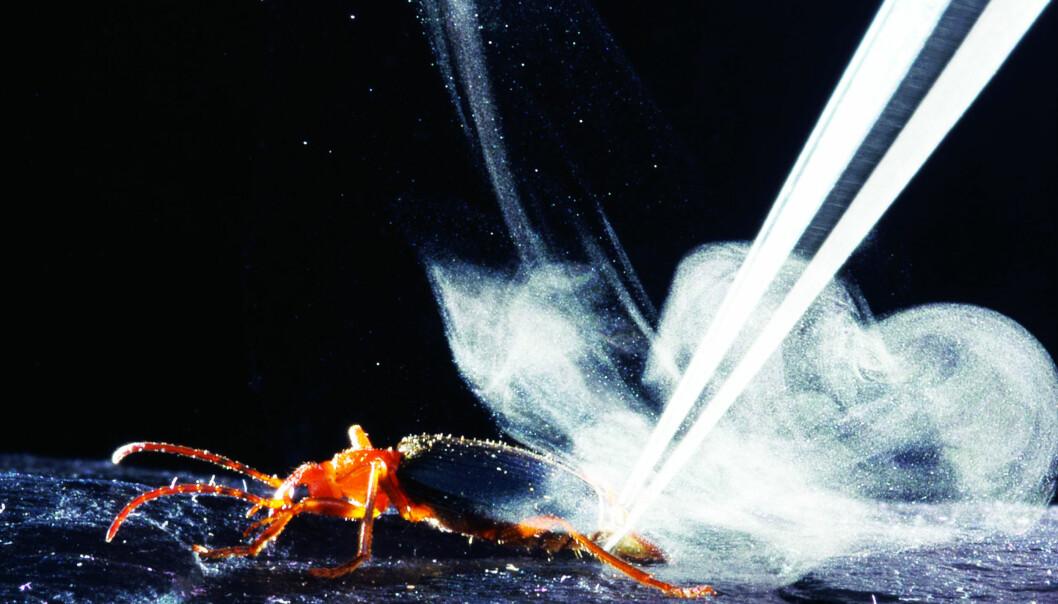 Her ser du hvordan den etsende giften skytes ut fra billen. I videoen kan du se hvordan denne eksplosjonen ser ut inne i billen. (Foto: Charles Hedgcock © 2015 Wendy Moore)