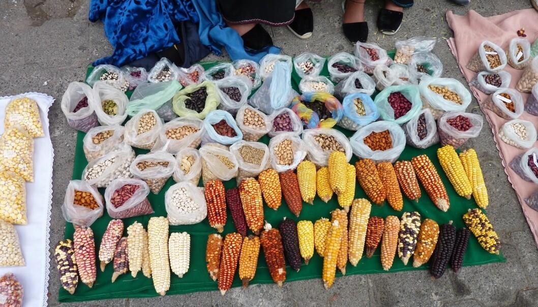 Kichwa-folket dyrker ulike typer mais for å finne fram til sorter som vokser best i det nye klimaet. (Foto: Kristine Skarbø)