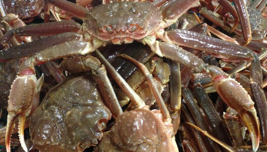 Førsteklasses krabbe klar til produksjon ombord på Northeastern. (Foto: Arne Birkeland)