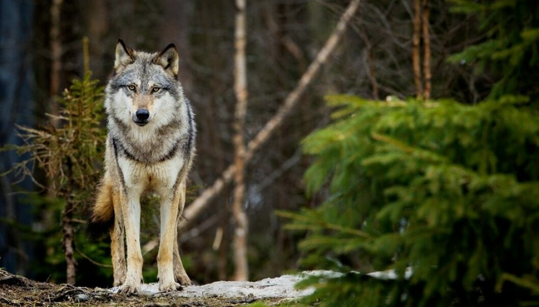 Ulven har et ambivalent forhold til skogsbilveier. Den vet at det er et farlig sted å ferdes. Men veiene gjør det lettere for ulven å komme seg raskere fram og passe på reviret sitt.  (Foto: Øyvind Nordahl Næss, NTB scanpix)