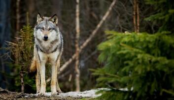 Ulven både elsker og frykter skogsbilveiene