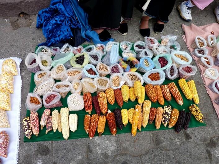 Mangfoldet av maissorter i Cotacachi er stort. (Foto: Kristine Skarbø)