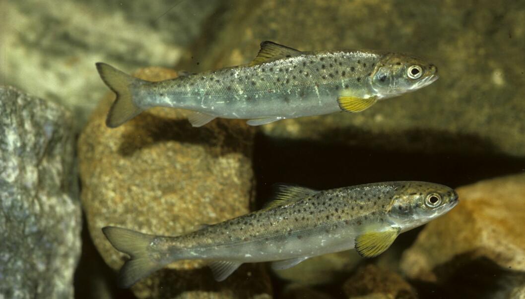 Laksesmolt fra Rogaland. Laksen begynner å gå i stim, og kan begynne å leve i havet etter at den har blitt smolt. Bildene er tatt i et strømmeakvarie. (Foto: Arne Nævra)