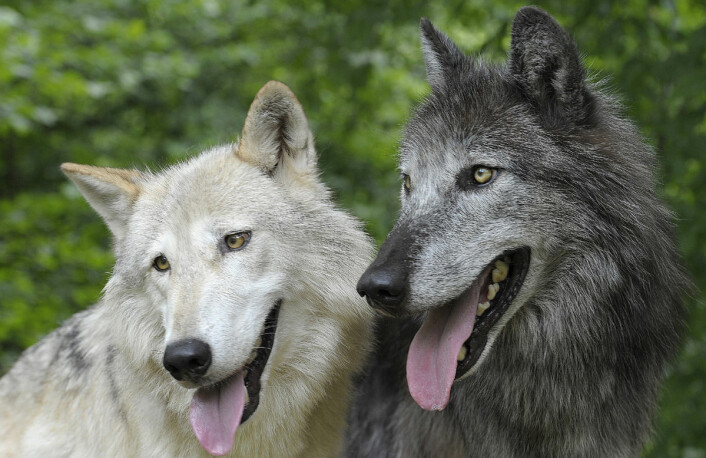 Ulver har tette familiebånd i flokken. Det kan gjøre dem mindre aggressive og mer villige til samarbeid. Denne egenskapen kan også ha vært viktig da menneskene for første gang tok ulven i bruk som husdyr for rundt 15 000 år siden. Disse to ulvene, Apache og Tatonga, deltok i forsøkene ved Veterinärmedizinische Universität Wien. (Foto: Walter Vorbeck)