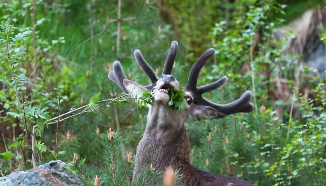 Hjortedyra har vore ein viktig del av endringane i naturen. Folk vaknar til lokalnytt som fortel om enno ein hjort, elg eller rådyr som er blitt påkøyrt. Det skjer 7000 til 8000 gonger i året, og er noko heilt nytt.  (Foto: Johan Trygve Solheim, Norsk Hjortesenter)