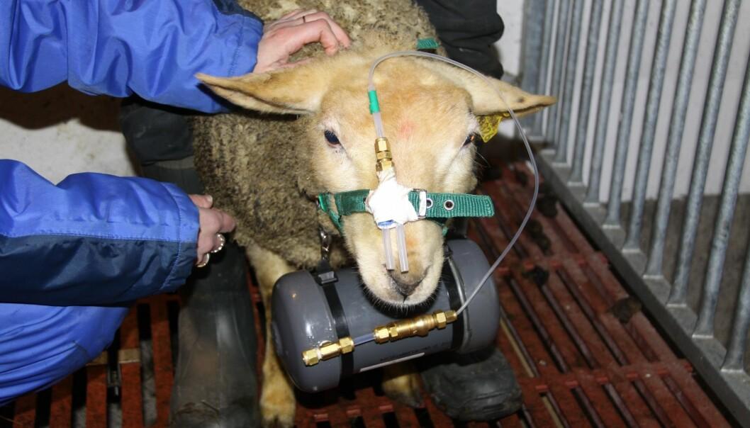 For å måle metangassen mens sauen beiter, skal søyer utstyres med hvert sitt måleinstrument når de slippes ut til våren. (Foto: Grete H.M. Jørgensen)
