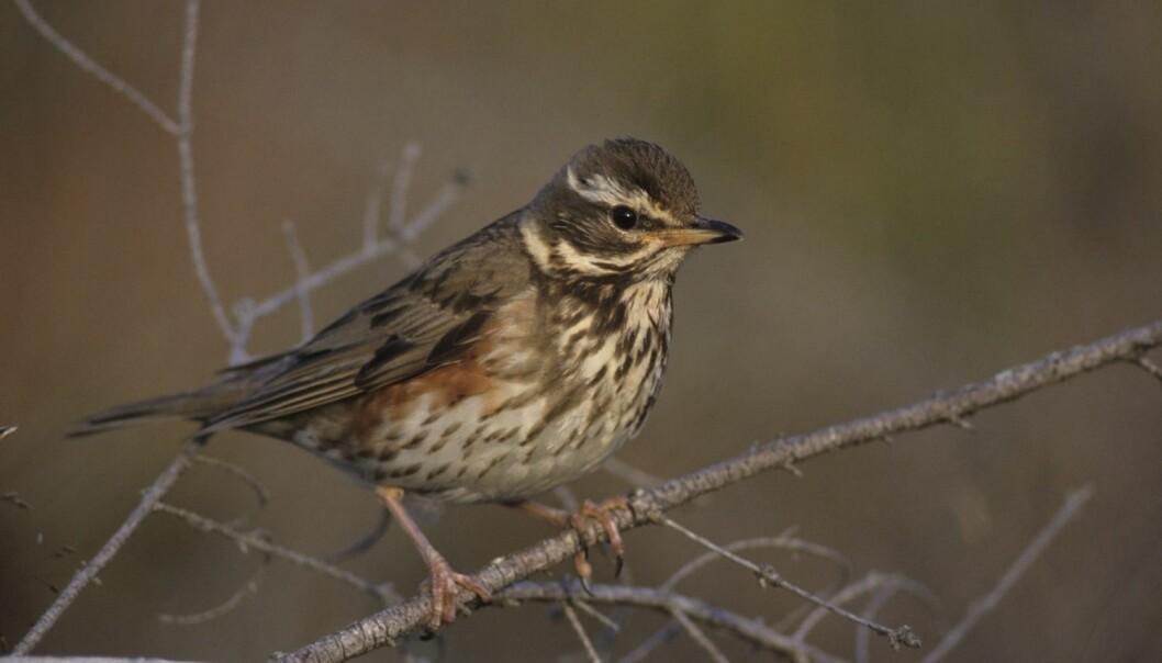 Rødvingetrosten - Turdus iliacus - er en vanlig trostefugl, og synger på dialekt.  (Foto: Erlend Haarberg, NTB scanpix)