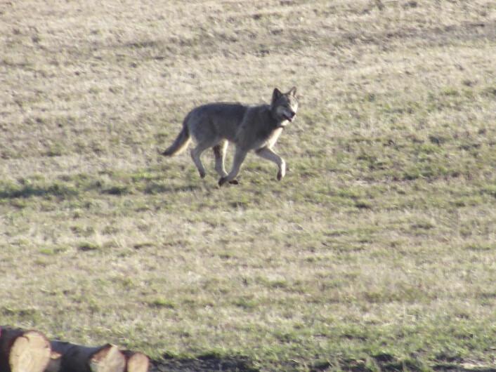 Denne ulven ble observert midt i et boligområde på Nesodden utenfor Oslo i 2012. Folk i byområder er mer positivt innstilt til vern av rovdyr. (Foto: Jens Christian Mitchell, NTB scanpix)
