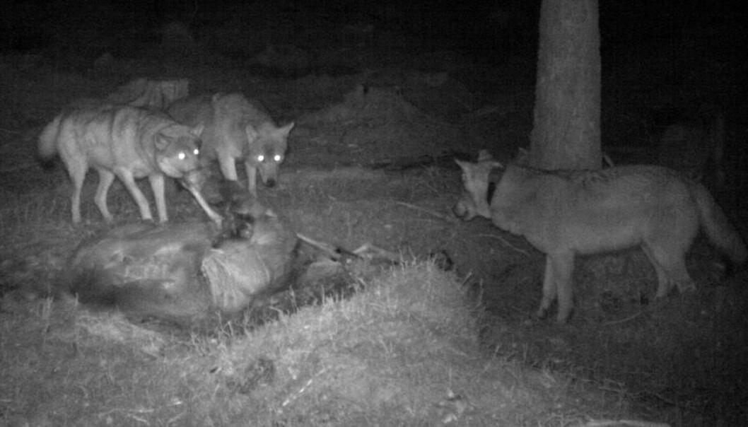 Forskerne hadde forventet at en stor flokk på ni eller ti ulver ville drepe fem ganger så mye elg som et par uten valper. Men slik er det ikke. Noen flokker dreper mye mer elg enn de trenger for å overleve. Noen dreper for få. Bildet viser en voksen ulv og to valper fra Julussaflokken i Hedmark ved et kadaver.  (Foto: Skandulv)