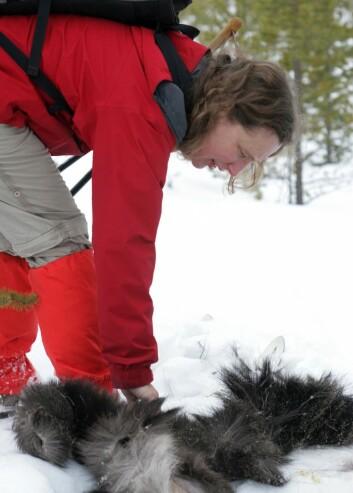 Barbara Zimmermann har funnet rester av en elg som er drept av ulv. Hun undersøker kadaveret for å fastslå alder og kjønn på dyret.  (Foto: Skarphedinn Thorisson)