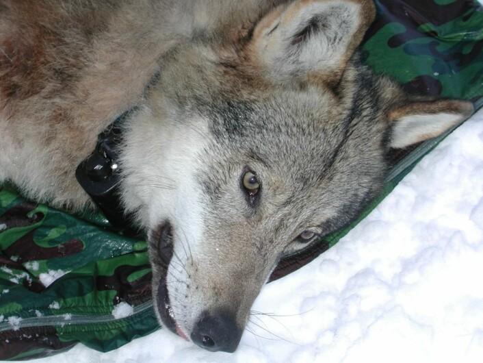 Denne ulven ble starten på Skandulv studier av ulvens matfat, som startet i 2001. Forskerne var tidlig ute med GPS-merking. (Foto: Barbara Zimmermann)