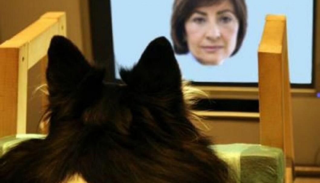 Tålmodig hund kikker på bilder av ansikter. (Foto: Sanni Somppi/University of Helsinki)