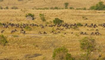 En flokk med gnuer på vandring over Serengeti. Dette ikoniske bildet fra nasjonalparken kan snart bli borte. (Foto: Microstock)