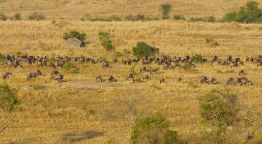 Nasjonalparken Serengeti kan forsvinne