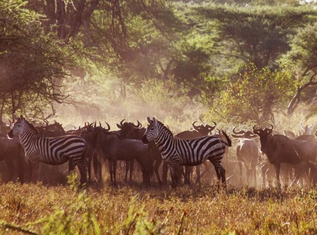 De siste årene har klimaet i Serengeti blitt varmere, tørkeperioden lengre og regnet kraftigere slik at jorda eroderes og vaskes ut. (Foto: Per Harald Olsen, NTNU)