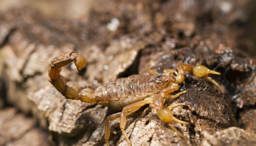 Skorpion ofrer hale og rumpehull under flukt