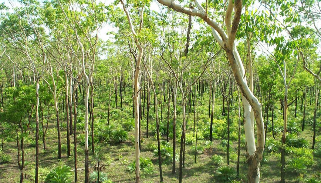 """Grønnere savanner i Australia, Sør-Amerika og Afrika har bidratt til å motvirke tap av skog i verden. (Foto: CSIRO Science Images, <a href=""""http://creativecommons.org/licenses/by/3.0/"""">Creative Commons</a>.)"""