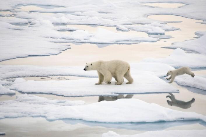 Det er mangel på havis som får isbjørnen til å trekke på land. Bjørnen trenger is for å jakte på sel. (Foto: Janne Schreuder, Norsk Polarinstitutt)