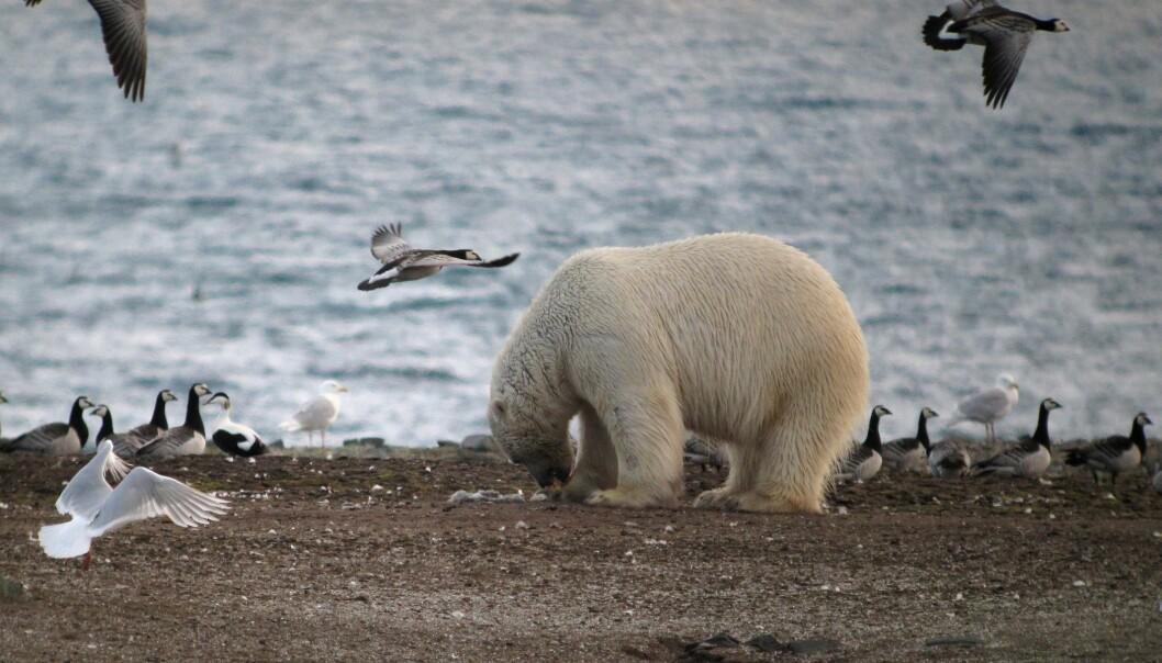 Isbjørnens eggplyndring er et godt eksempel på hvordan klimaendringer kan endre økosystemet i Arktis. (Foto: Jouke Prop, Arctic Centre, University of Groningen)