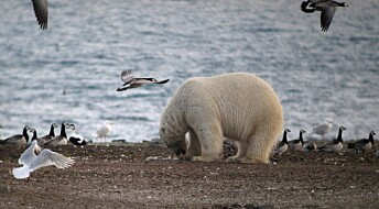 Isbjørnen bytter diett fra kjøtt til egg