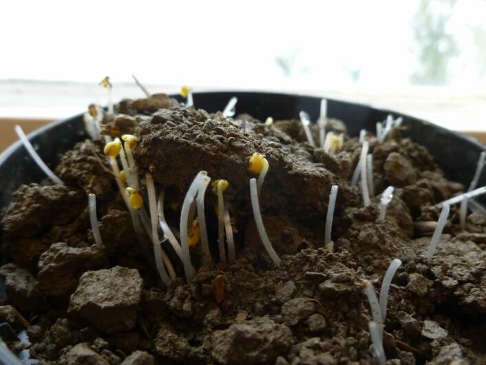 Utfordringa til dyrkerne begynner med frøet, derfor blir sådybde og sorter studert og utprøvd.  (Foto: Unni Abrahamsen, Bioforsk)