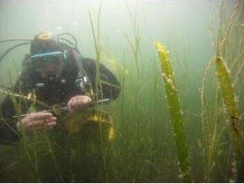 En dykker på jakt i en ålegraseng. (Foto: Niva)