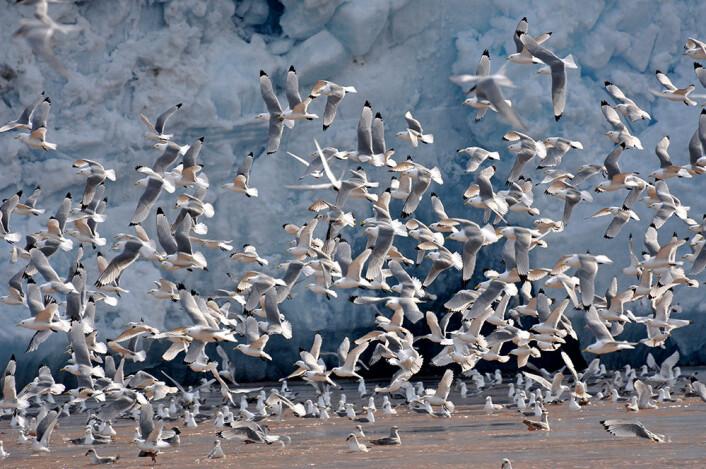 De nye indikatorene skal overvåke havis, dyreliv, sjøfugl, fiskeressurser og forurensning i Barentshavet.  (Foto: Geir Wing Gabrielsen, Norsk Polarinstitutt)