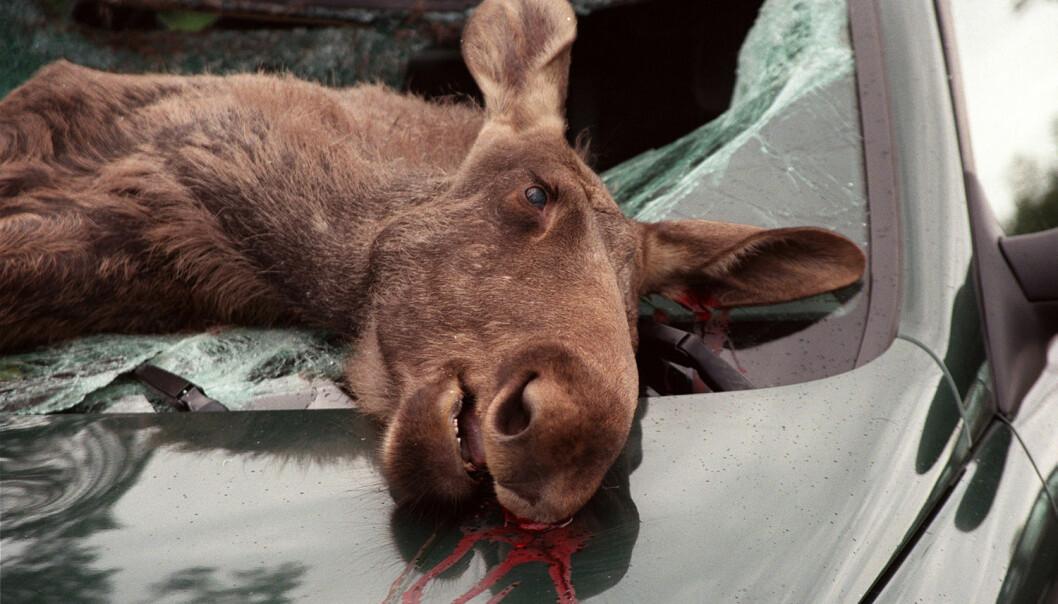 Denne elgen måtte bøte med livet i møte med bil på riksvei 3 nord for Hurum i Hedmark. (Foto: Tore Sannum, NTB scanpix)