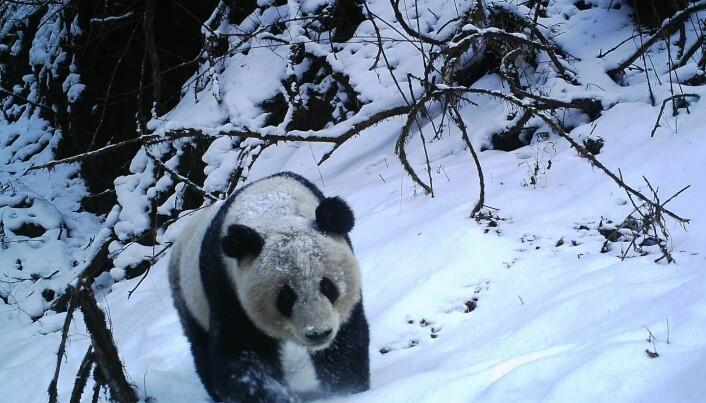 Pandaer søker selskap