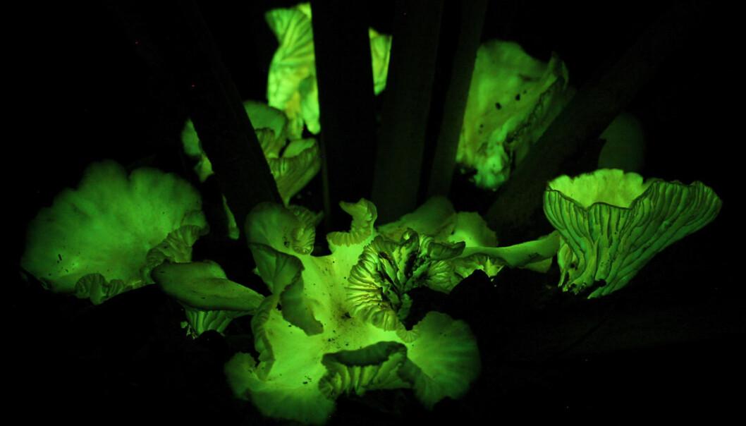 Den stråler sterkere enn alle andre selvlysende sopper, og vokser i det nordlige Brasil. Nå har brasilianske og amerikanske forskere funnet ut at den skrur av lyset om dagen, og hvorfor den lyser om natta. (Foto: Michele P. Verderane, IP-USP-2008)
