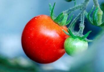 Tomat – med krefthemmende skall. (Foto: Sara Johannessen, NTB scanpix)