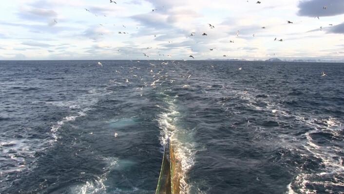 Forskningen foregikk utenfor kysten av Troms og Finnmark. Måkene er også på pletten når trålen trekkes opp. (Foto: Lasse Biørnstad)
