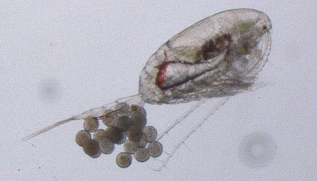 Hoppekreps er en viktig del av faunaen både i havet og ferskvann. Det er cirka 8500 arter på verdensbasis, og det er kjent nærmere 600 arter fra Norge. De fleste er ganske små, frittlevende krepsdyr i sjøen og i ferskvann.  (Foto: Norsk Polarinstitutt)