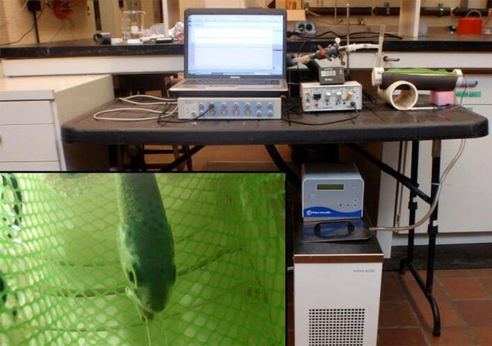 Med elektroder festet til fisken måles hjerterytmen for å finne ut hvor godt laksen tåler varme. (Foto: Harald Takle, Nofima)