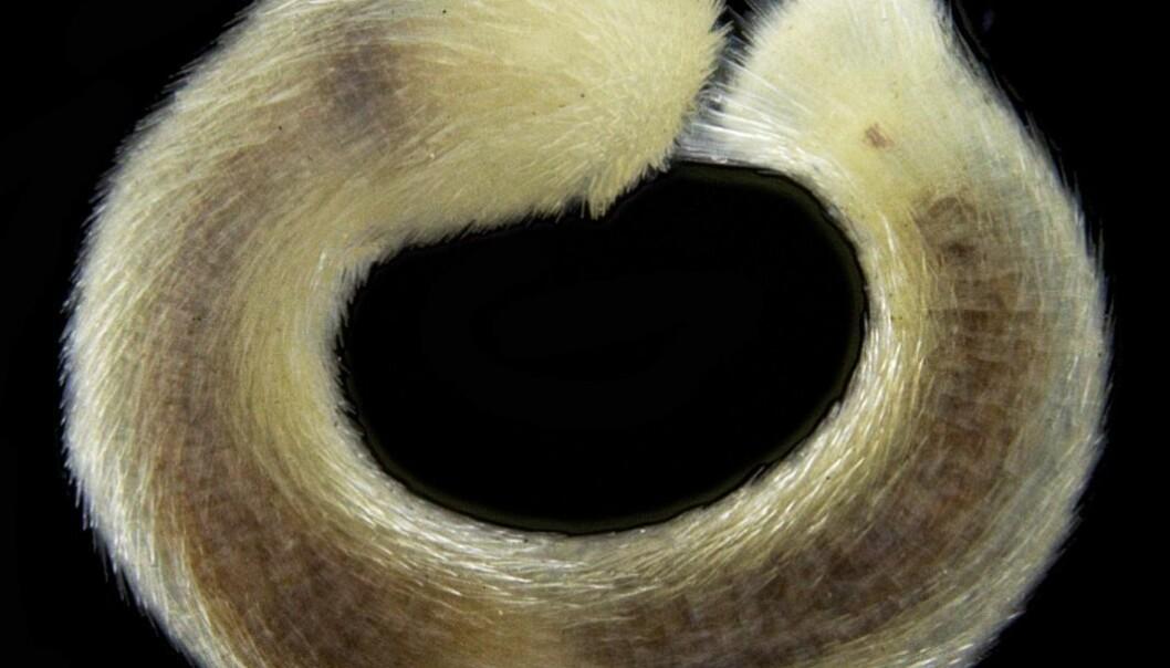 Hittil har kunnskap om pelsmollusker vært mangelfull. Gjennom kartlegging i Artsprosjektet viser det seg at den norske kontinentalsokkelen har et overraskende høyt artsmangfold av pelsmollusker.  (Foto: E Gerasimova, Universitetet i Bergen. CC-BY 4.0)