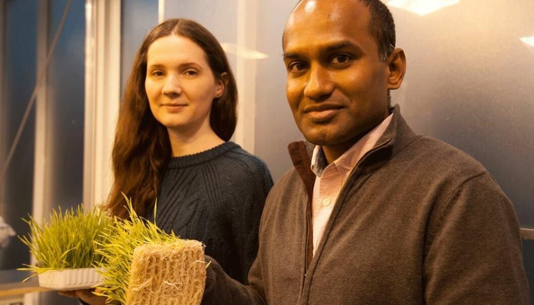 Tekniker Liubov Vasenko og stipendiat Lelum Manamperuma viser frem korn som er dyrket i avløpsvann tilsatt polymerer.  (Foto: Mette Risbråthe)