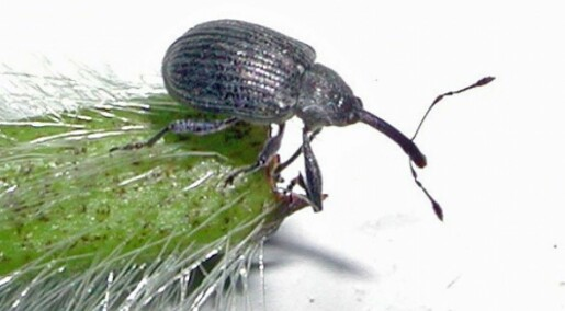 Skal stoppe insekter på jordbær og bringebær