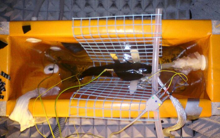 En bedøvet torsk ligger i et kar, tilkoblet ledninger som gir den små strømstøt, og elektroder under huden som måler nervereaksjonene i sentralnervesystemet. Denne nye metoden er et første skritt mot å forstå hvordan smertesignaler forplanter seg opp til fiskehjernen. (Foto: NOFIMA)