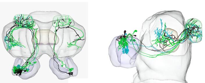 Nevronene til hann-nattsvermeren er illustrert gjennom tre ulike farger. Nevronene, som er markert med grønn og turkis, reagerer på to forskjellige substanser som blir frigitt av hunnen for å tiltrekke seg hannen. Nevronet som er farget svart, bærer informasjon om en substans frigitt av en hunn av en annen art, altså en mulig feilkilde. Denne substansen gjør at hann-nattsvermeren flykter fra luktkilden.  (Foto: (Illustrasjon: NTNU))