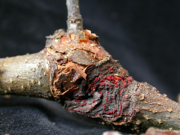 <em>Neonectria ditissima</em> på eplegrein. (Foto: Venche Talgø, Bioforsk)
