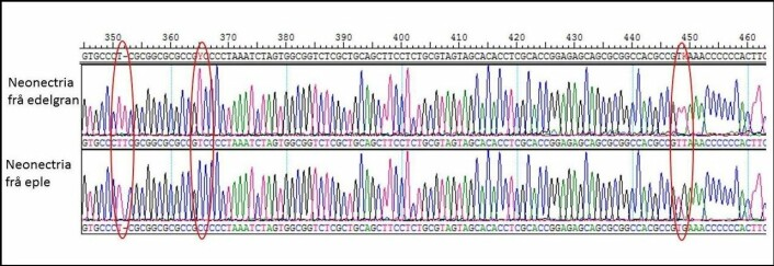 Del av DNA-strekkode for Neonectria frå edelgran og eple. Forskjeller i denne delen av strekkoden er ringa rundt med rødt. (Foto: (Illustrasjon: Bioforsk))