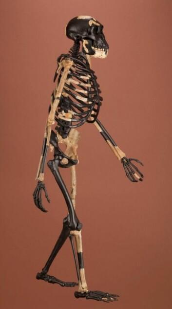Lucy er et 3,2 millioner år gammelt fossil funnet bare 30 kilometer fra der hvor LD 350-1 nylig ble funnet. Lucy var en Australopithecus som både kunne stå oppreist på bakken og klatre i trær ved hjelp av lange, ape-lignende armer og fingre. Lucy kunne dermed mestre både skoglandskap og gressletter. LD 350-1 er så langt bare en 2,8 millioner år gammel underkjeve. Men tennene i denne underkjeven ligner mer på våre tenner enn på Lucys tenner. Noe må ha hendt i løpet av relativt kort tid.  (Foto: Smithsonian)