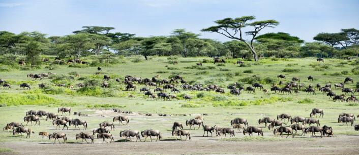 I et åpent landskap som ligner dette – nasjonalparken Serengeti i Tanzania – blir det en klar fordel for fortidsmennesket å kunne gå oppreist på to bein og å ha en stor hjerne.  (Foto: Nature Picture Library/NTBscanpix)
