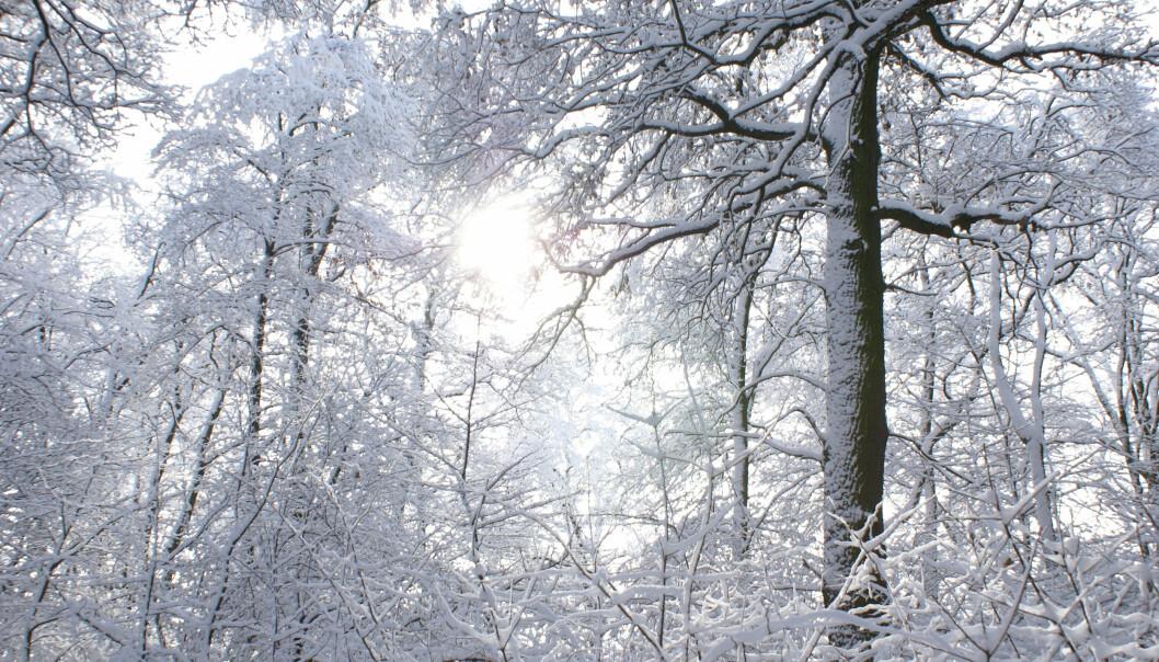 De europeiske skogene var en gang preget av mye større mangfold, men det satte istidene en stopper for. Det kalde været gjorde at bare de aller mest kuldetolerante trærne overlevde.  (Foto: Colourbox)