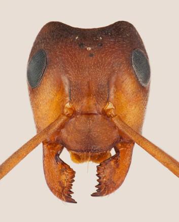 Mauren har inspirert mennesker siden historisk tid, og denne inspirasjonen har gjenspeilet seg i både det språklige, det litterære og det folkloristiske. (Foto: Karsten Sund, Naturhistorisk museum)
