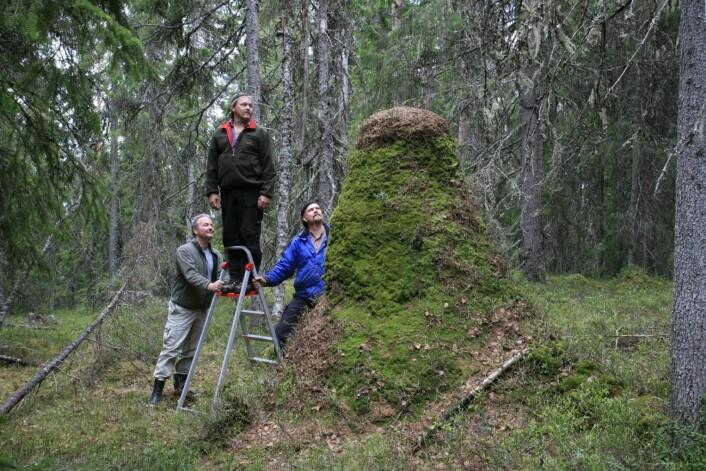 Norges høyeste maurtue ligger i søndre Trysil. Høyden er 238 cm i gjennomsnitt for største og minste høyde. Torstein Kvamme til venstre i bildet. (Foto: Oskar Puschmann, Skog og landskap)